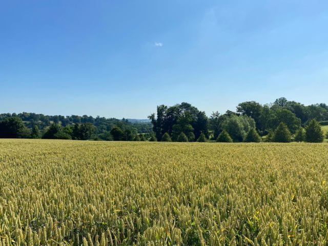 This hot sunny weather is perfect for ripening the crops. They will soon be ready to harvest 🌾☀️  #farming #harvest2021 #wheat #blueskies #summer #countryside
