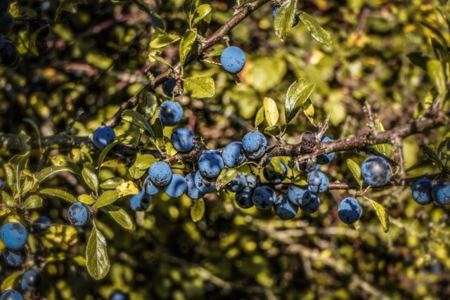 It's nearly time to start making sloe gin again…the question is whether to wait for the first frost or cheat and put them in the freezer 🍷  📸 @manonfosb #sloegin #foraging #autumn #hedgerow #sloe